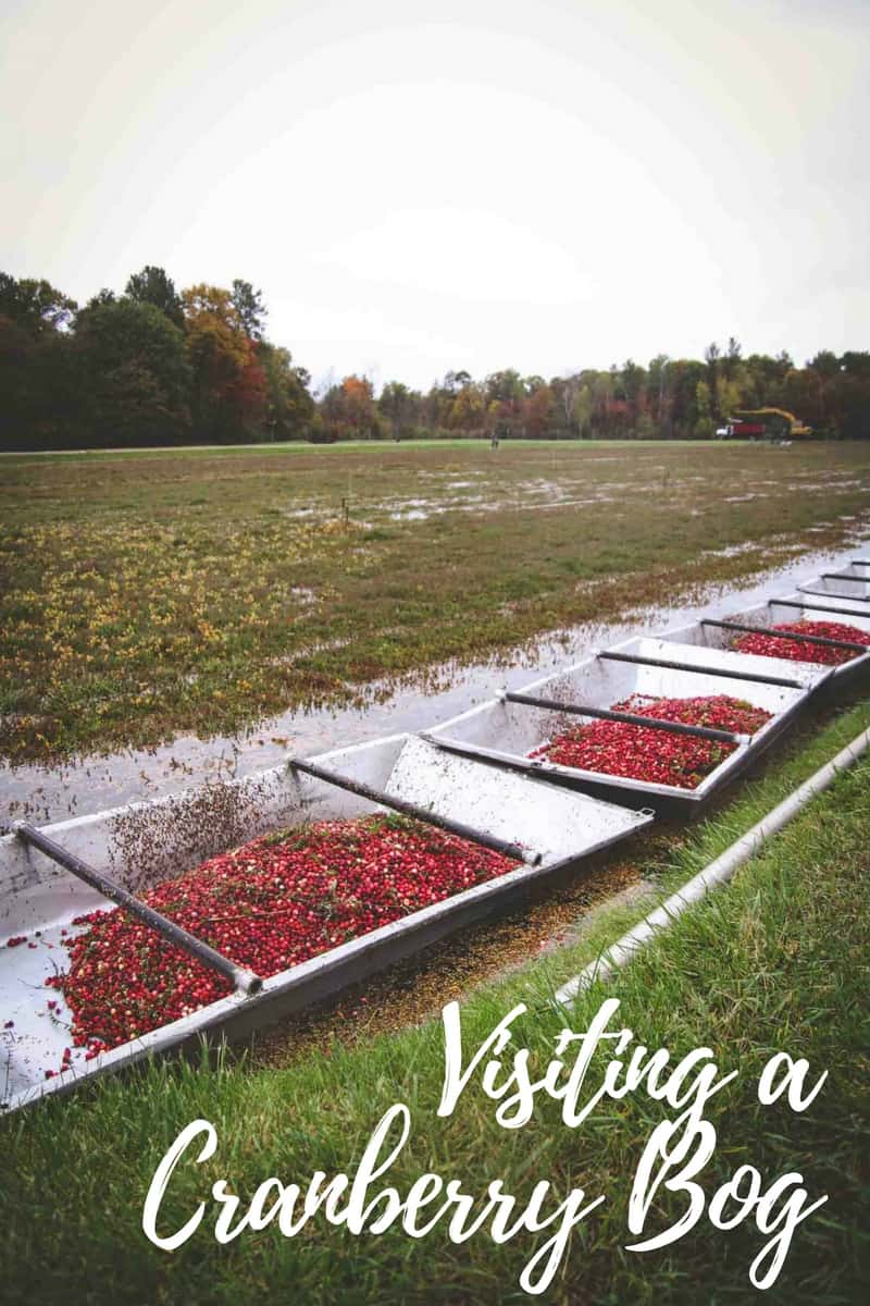 The best time visiting a cranberry bog in Wisconsin