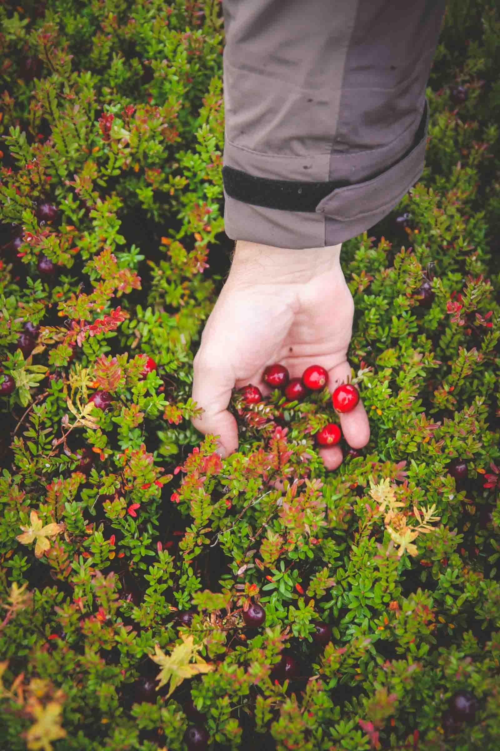 Wisconsin cranberry vines at a cranberry bog