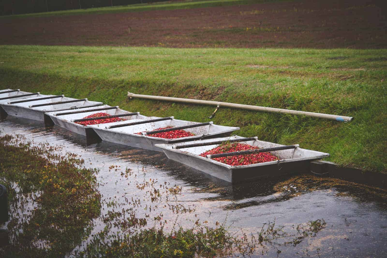Fresh cranberry harvesting in Wisconsin