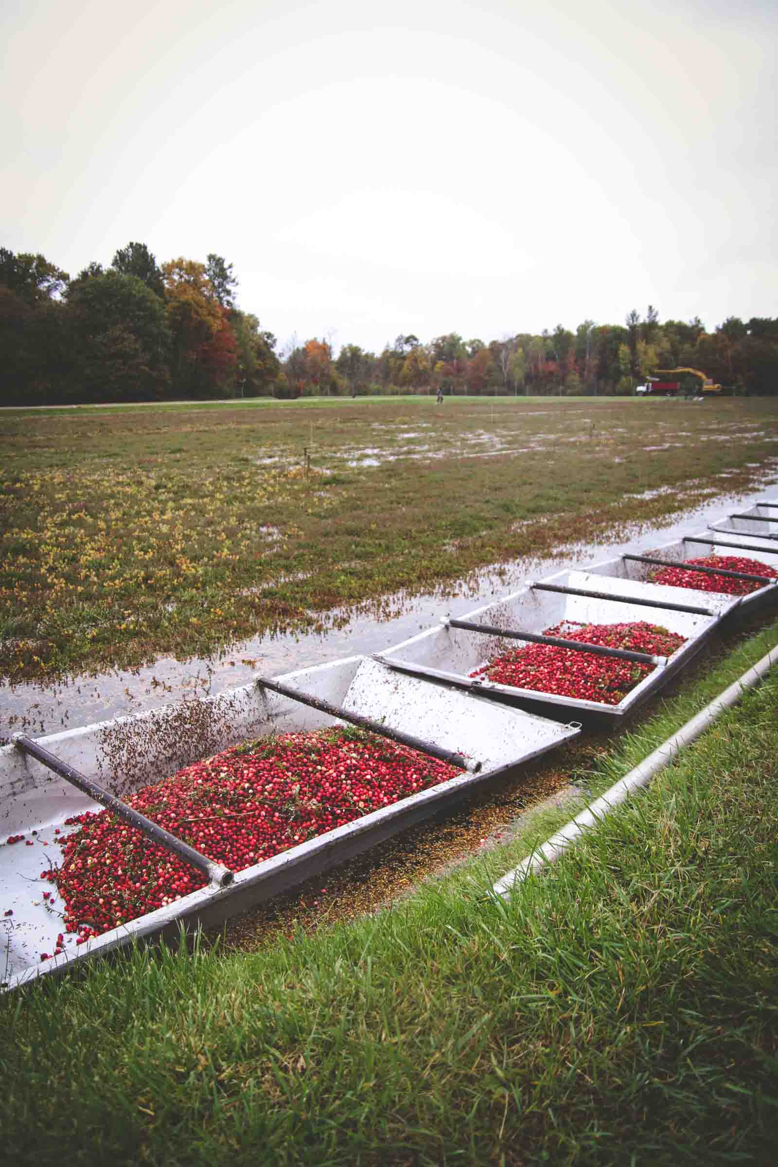 Visiting a Wisconsin cranberry marsh