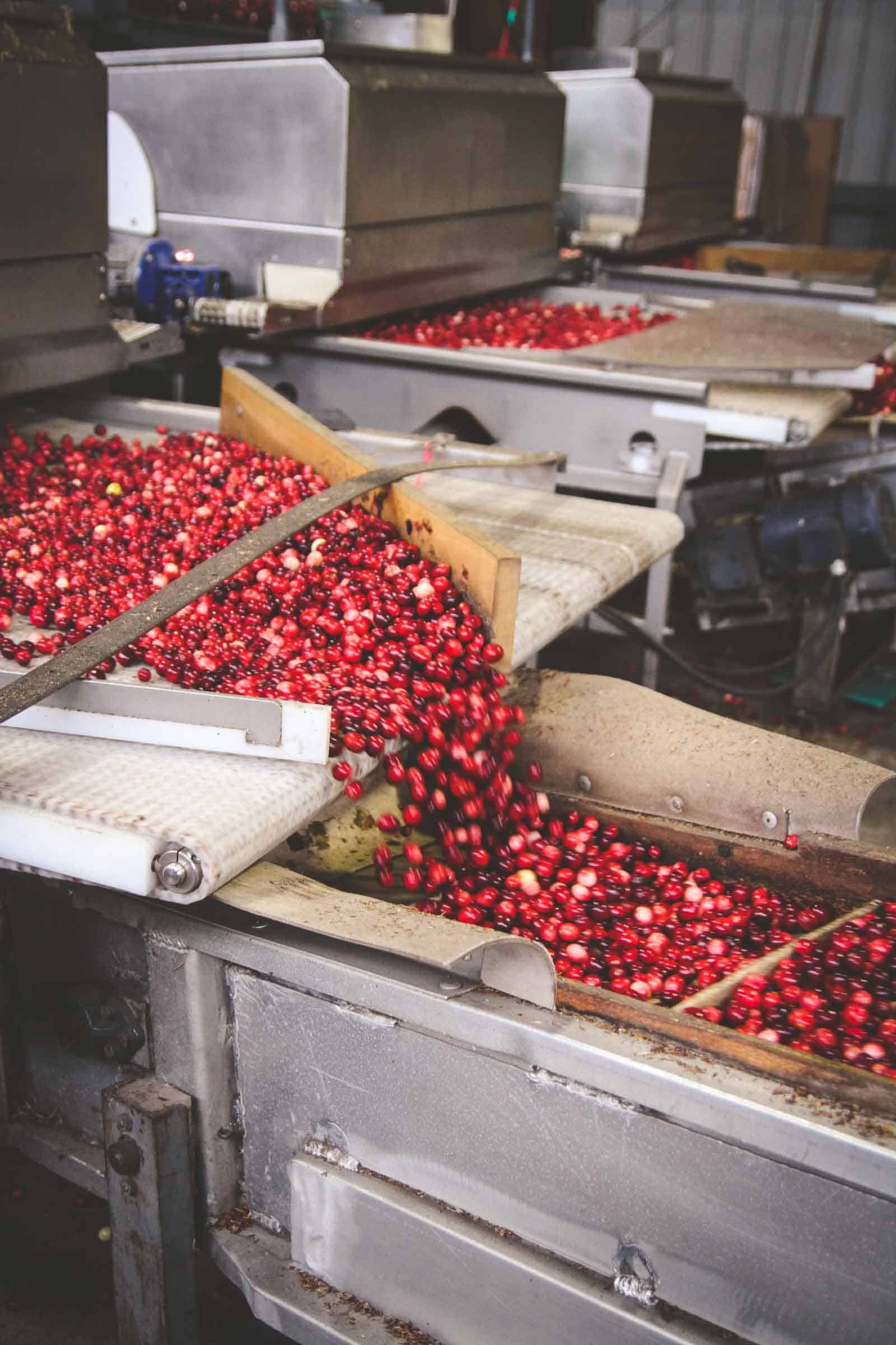 Fresh cranberry harvesting and processing in Wisconsin