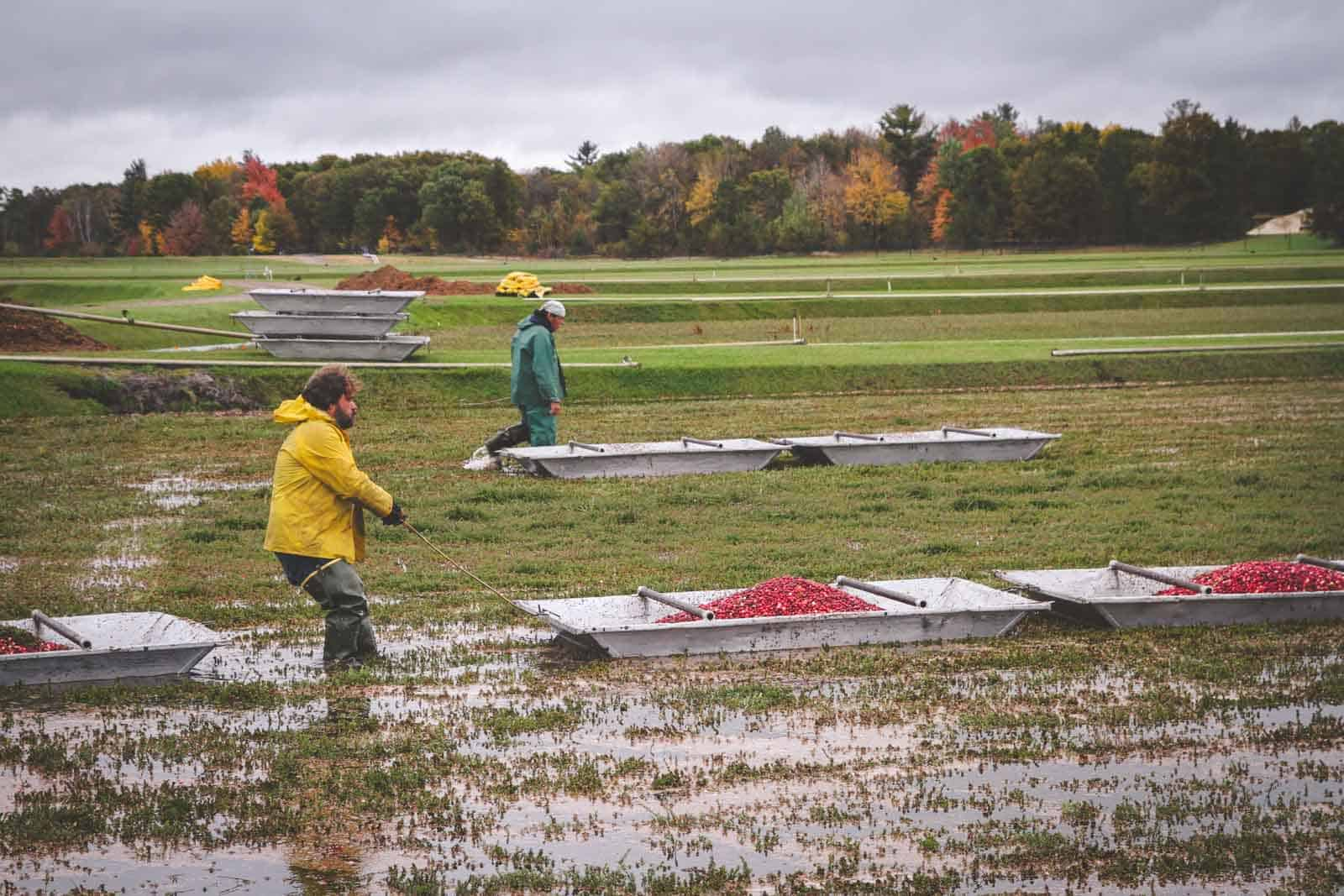 Fresh cranberry harvesting at a Wisconsin cranberry bog